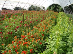 Celosia in high tunnels at Peregrine Farm in Graham, NC.