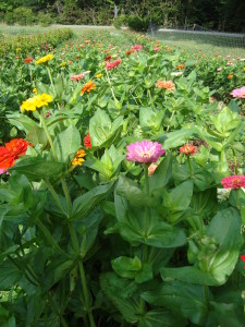 Zinnias grow at Peregrine Farm.