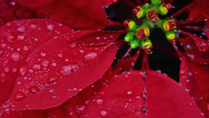 poinsettia with dew