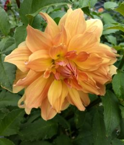 Cut Dahlia in Production Trials 2018