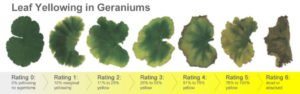 Leaf yellowing scale in geraniums