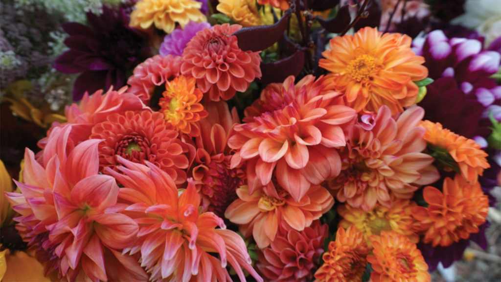 Cut dahlias