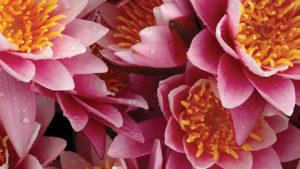 Water Lilies as a cut flower crop