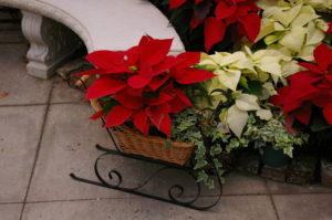 Poinsettias can be incorporated with other plants in a planter to give a festive holiday look. (Credit NC State University)
